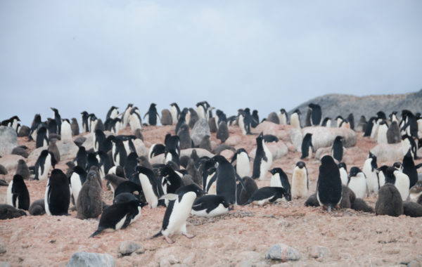 Visit a supercolony of penguins on Cape Adare