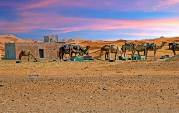 Take a sunset camel trek in the Sahara Desert