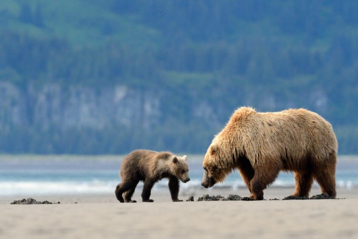 015 Alaska Katmai Grizzly 2