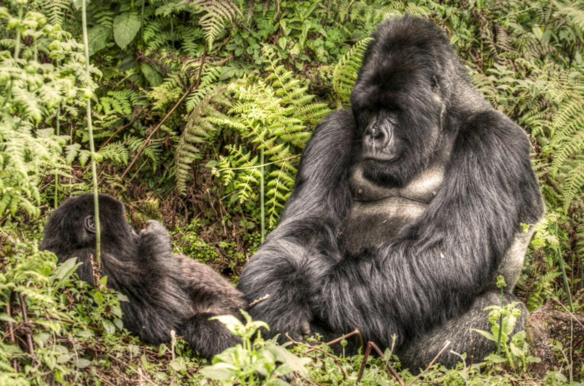 022 Gorilla Rwanda 2