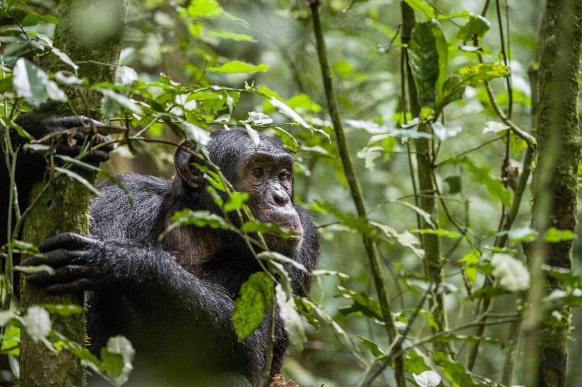 022 Uganda Chimpanzee