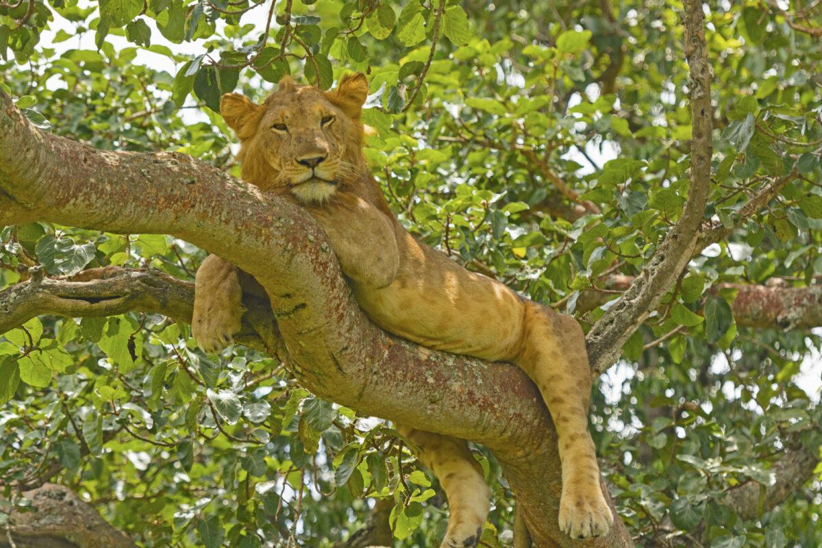 022 Uganda Lion Ishasha