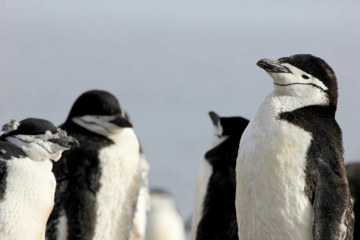 030 Chinstrap Penguin