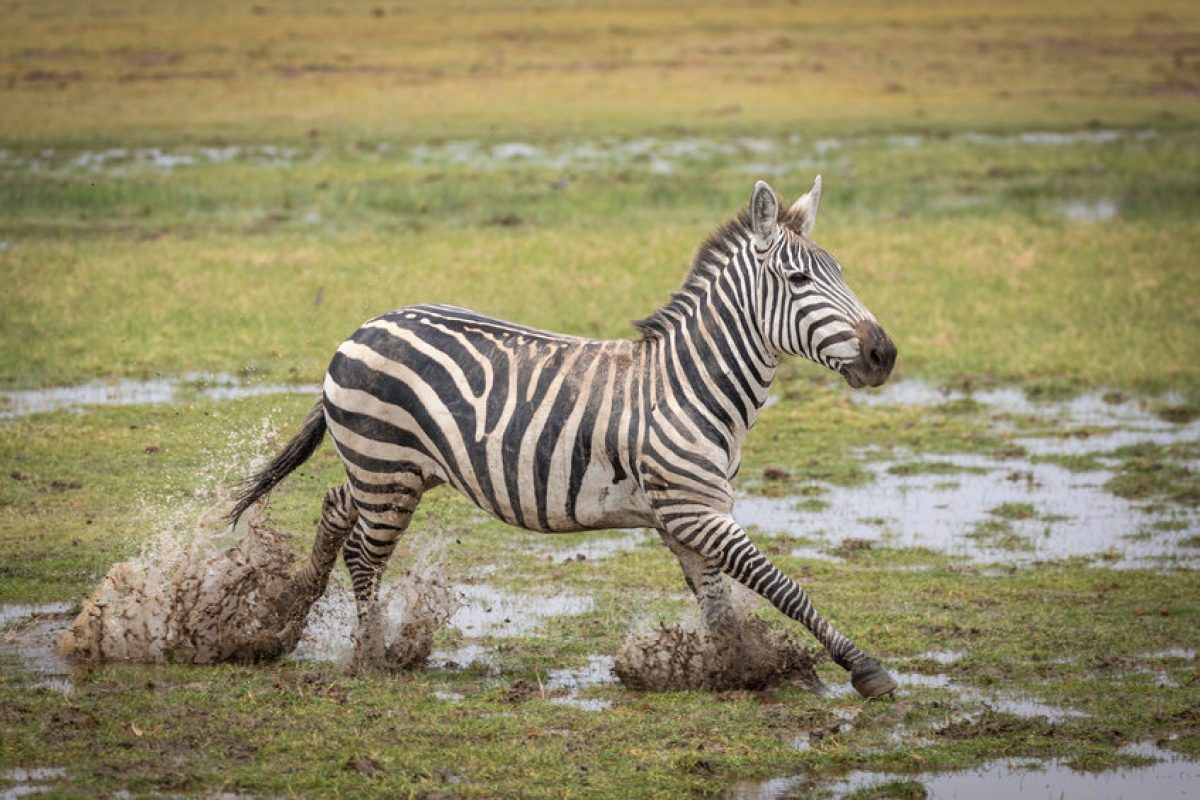 Adult zebra running in mud in Amboseli National Park in Kenya
