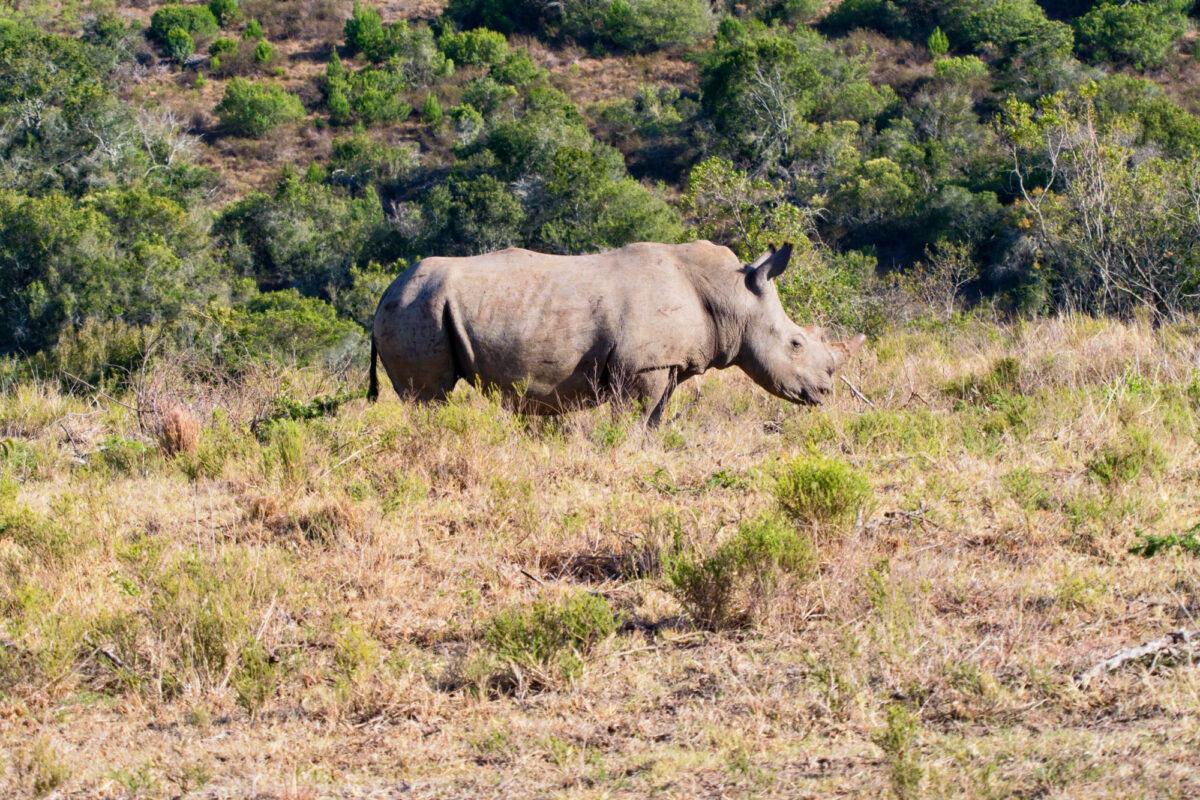 African Black Rhinocerous