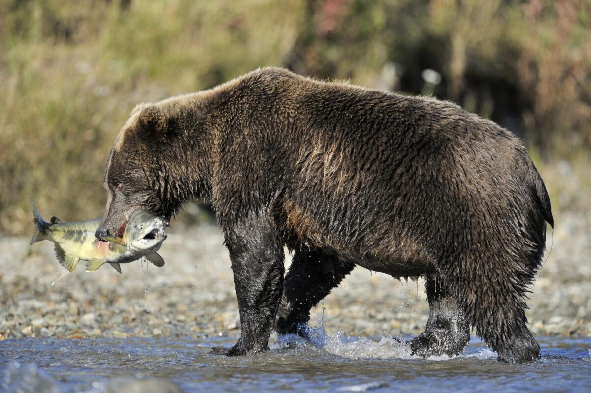 Alaska_brownbear