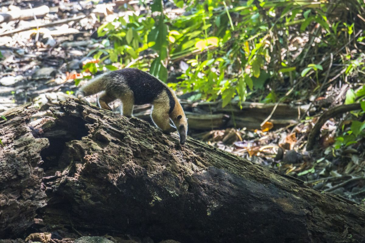 Ant eater searching for food in Corcovado Costa Rica