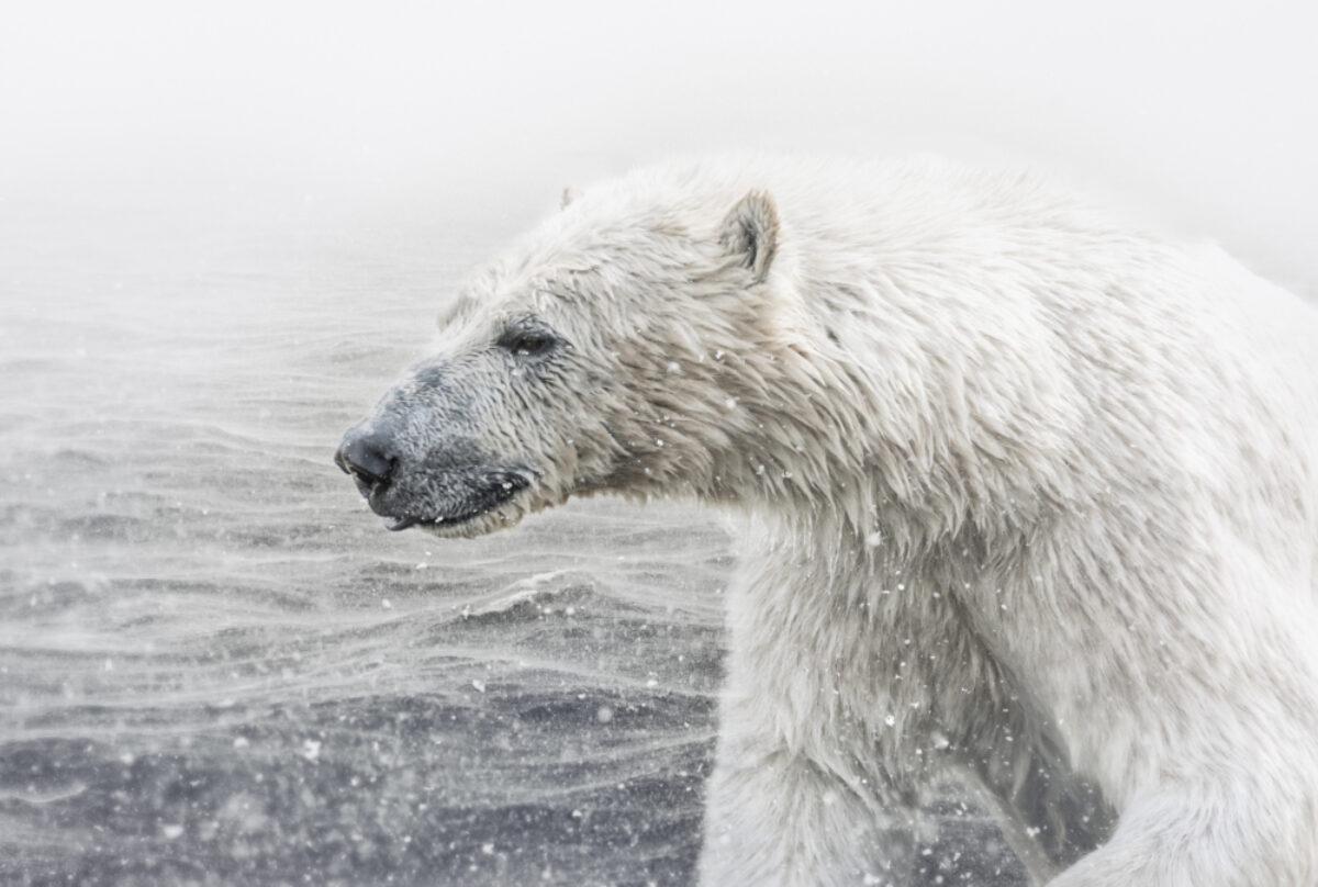 Arctic polarbears