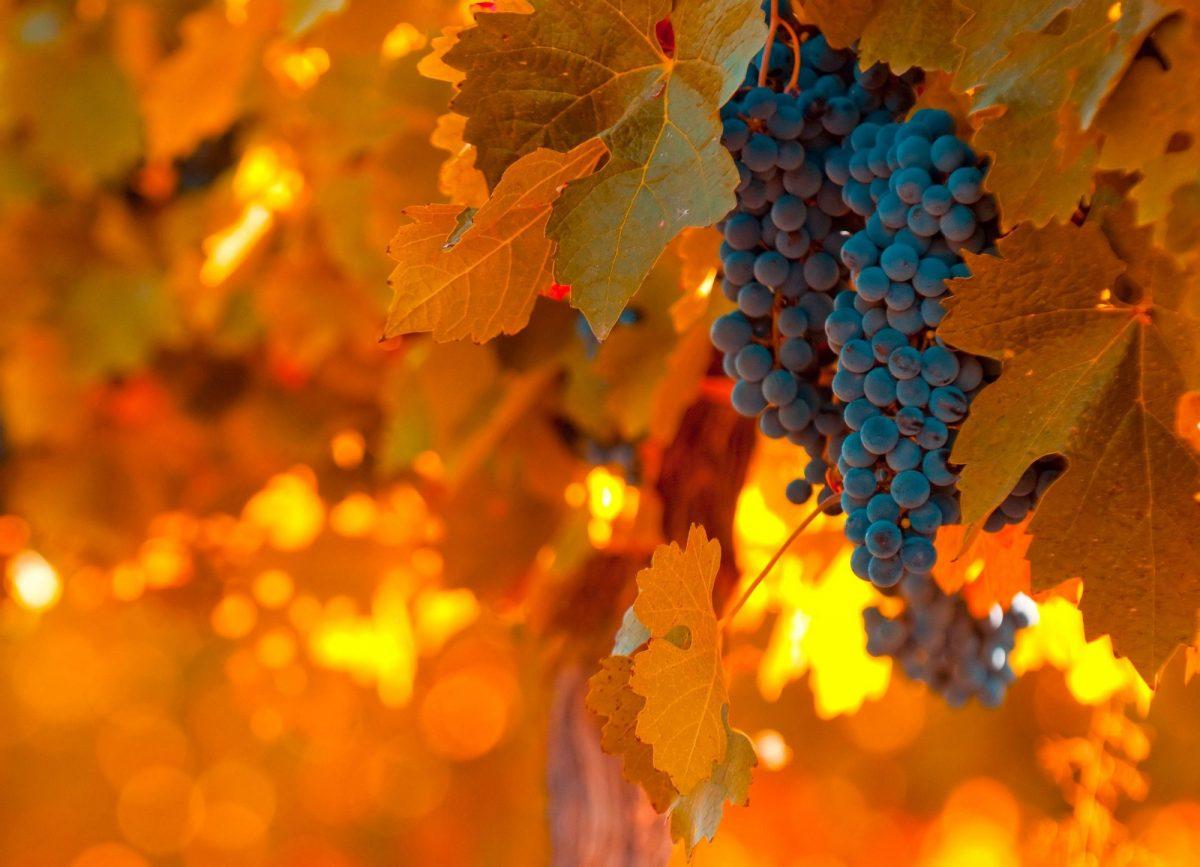 Argentina Malbec grapes