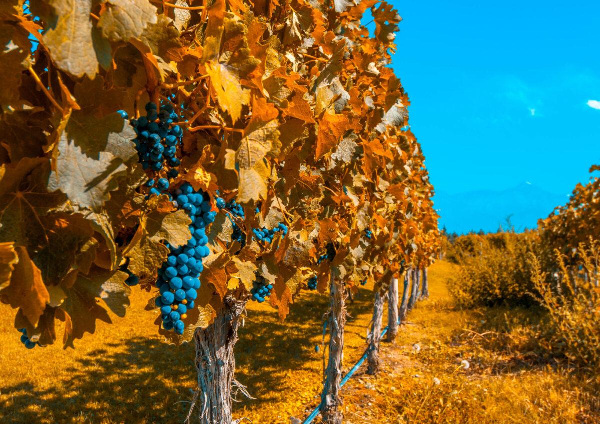 Argentina Mendoza autumnharvest