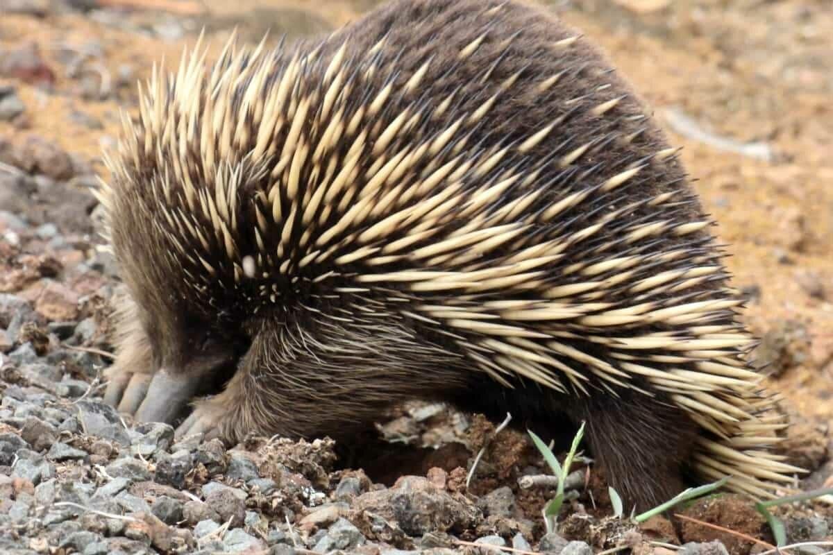 Australia ECHIDNA great ocean road wildlife 180216p01sr1200 min