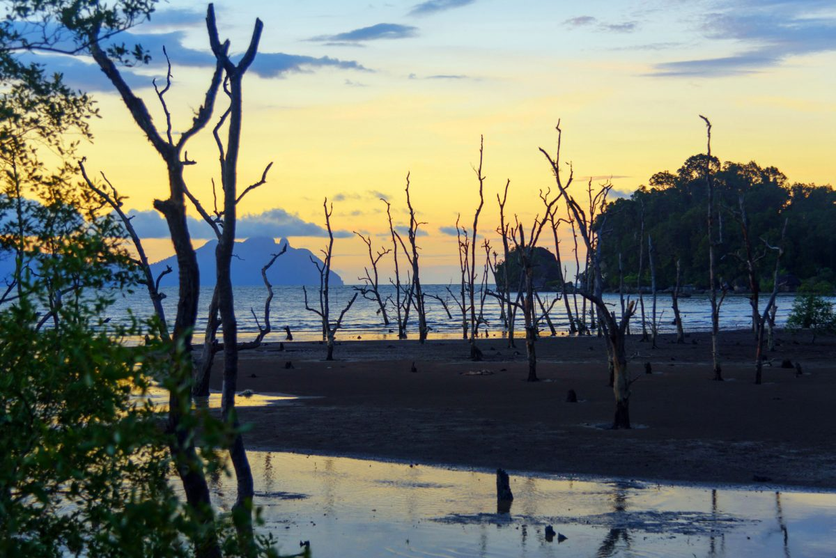 Borneo Bako National Park Dead mangrove trees on beach at sunset