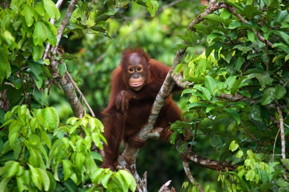 Borneo Orangutan6