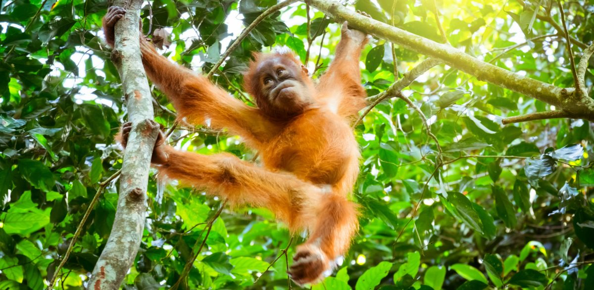 Borneo Orangutanbaby