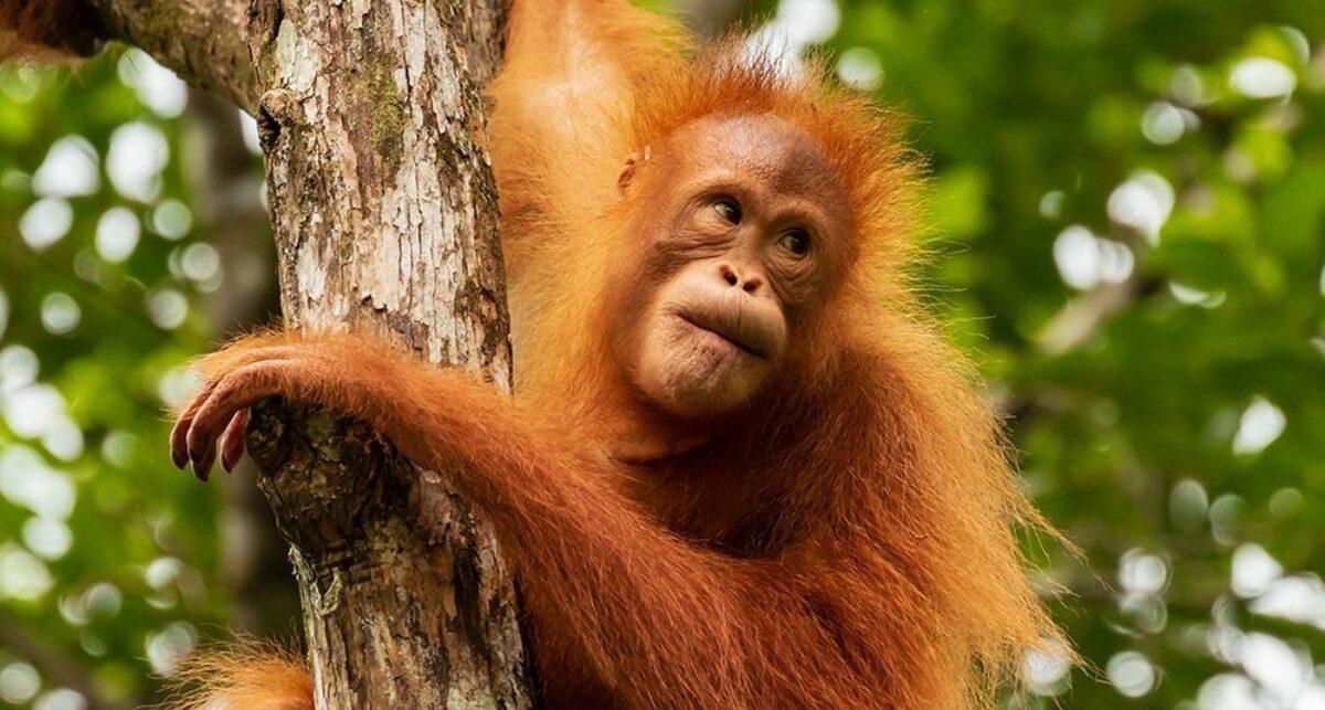 Borneo Orangutantree