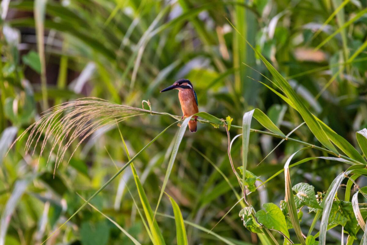 Borneo_Sabah_Kingfisher