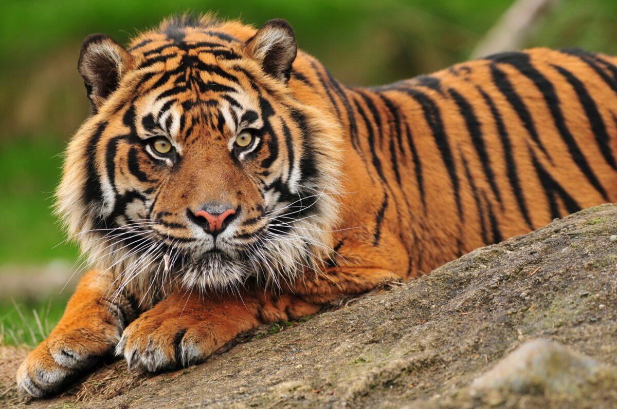 Borneo_Sumatrantiger