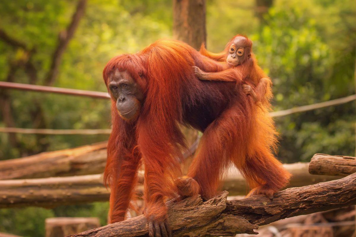 Borneo_orangutans