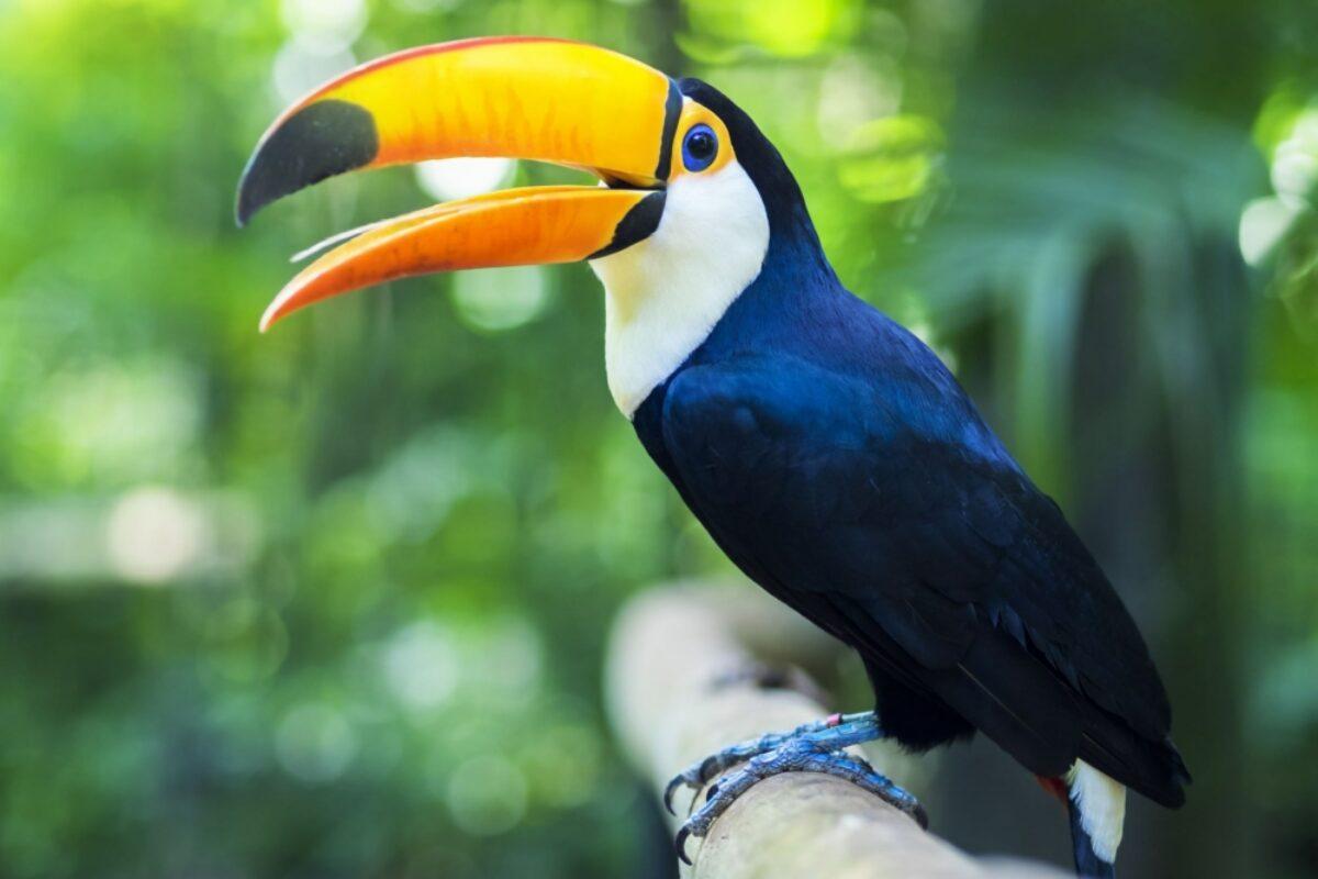 Brazil Toucan