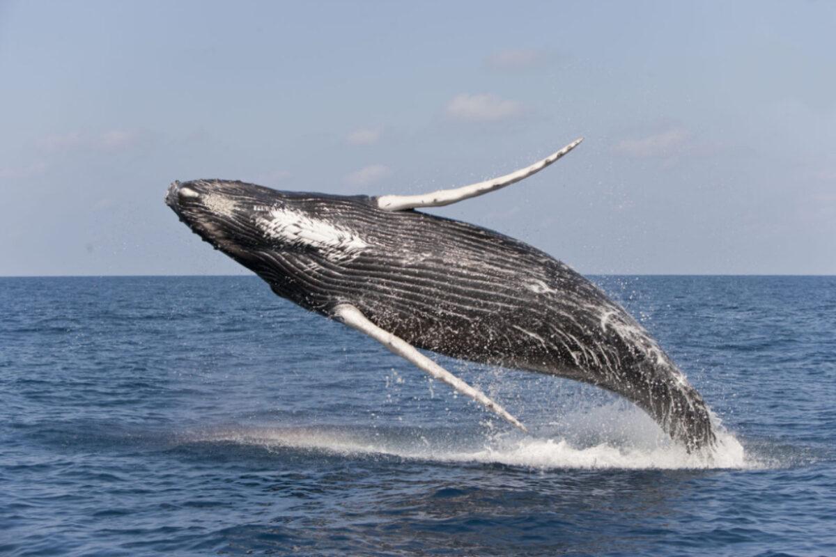 Cheeseman USA silverbank humpbackwhale