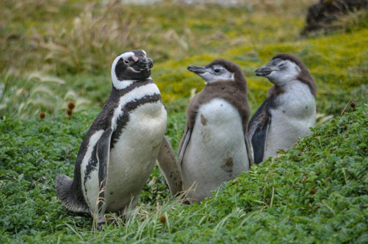 Chile Cape Horn Magellan Penguin