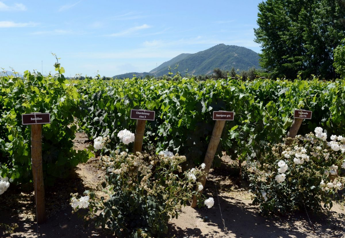 Chile Colchagua winery Viu Manent