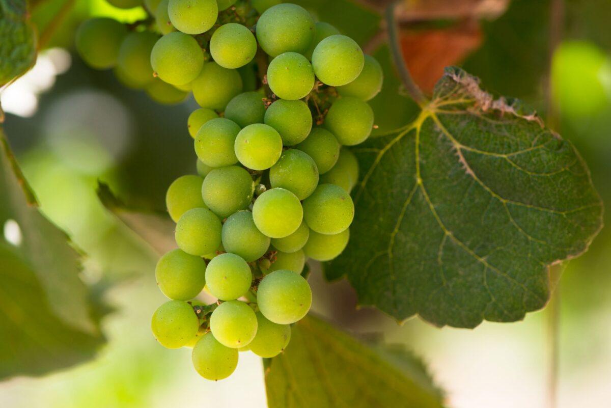 Chile Colchague grapes
