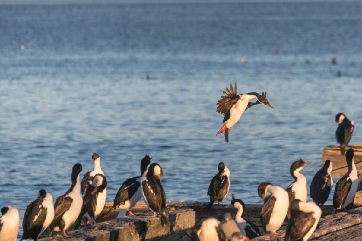 Chile Punta Arenas cormorants