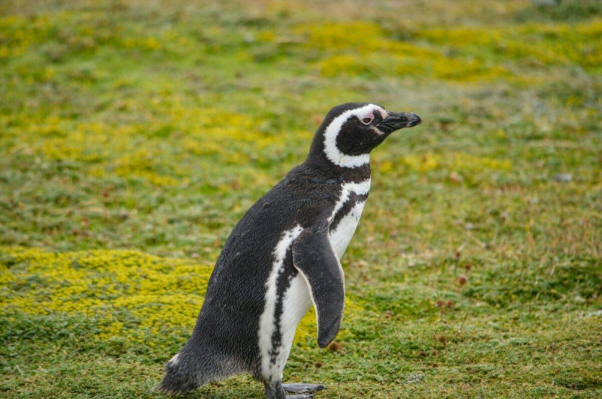 Chile Punta Arenas penguin