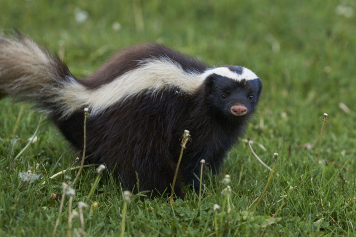 Chile Valle Chacabuco umboldts hog nosed skunk