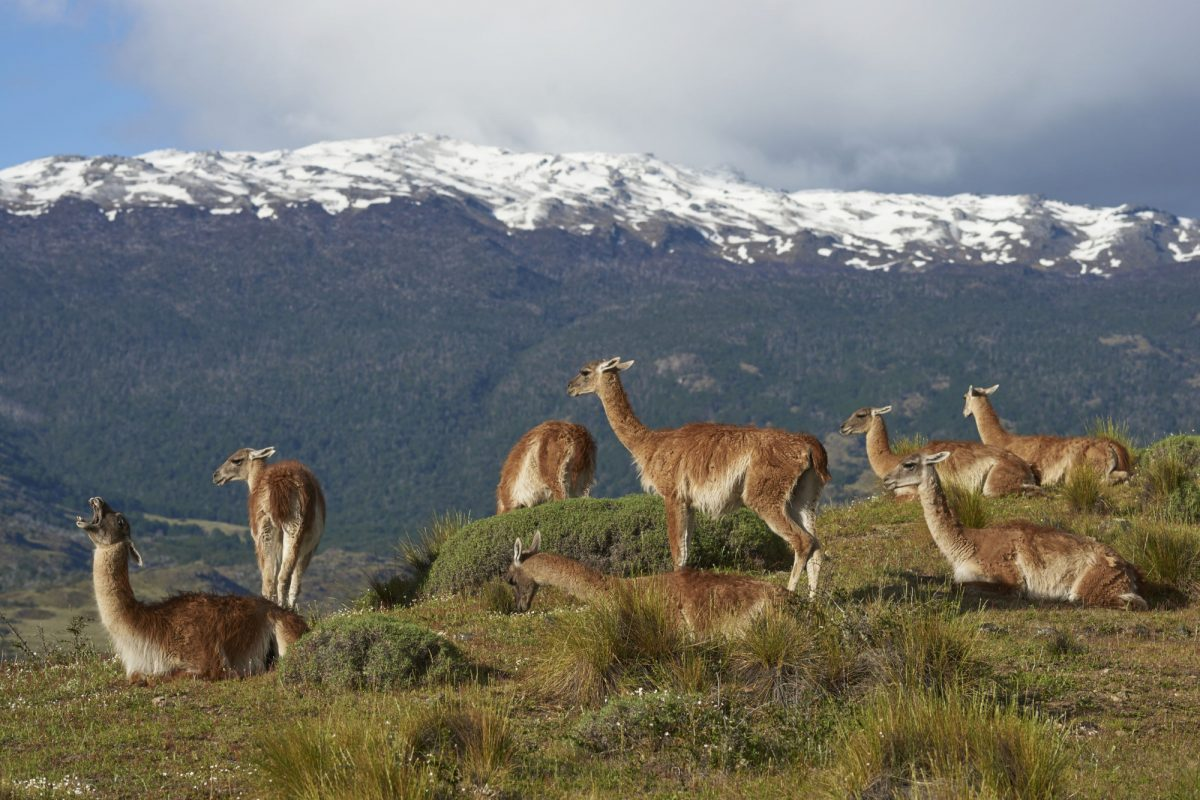 Chile Valle Chacabuco groupofguanaco