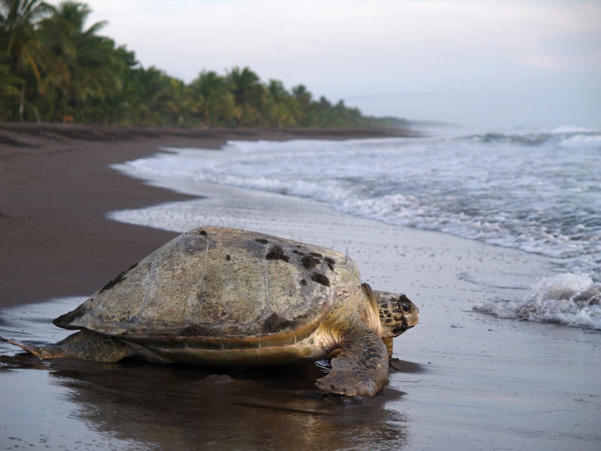 Costa Rica Tortuguero sea turtle