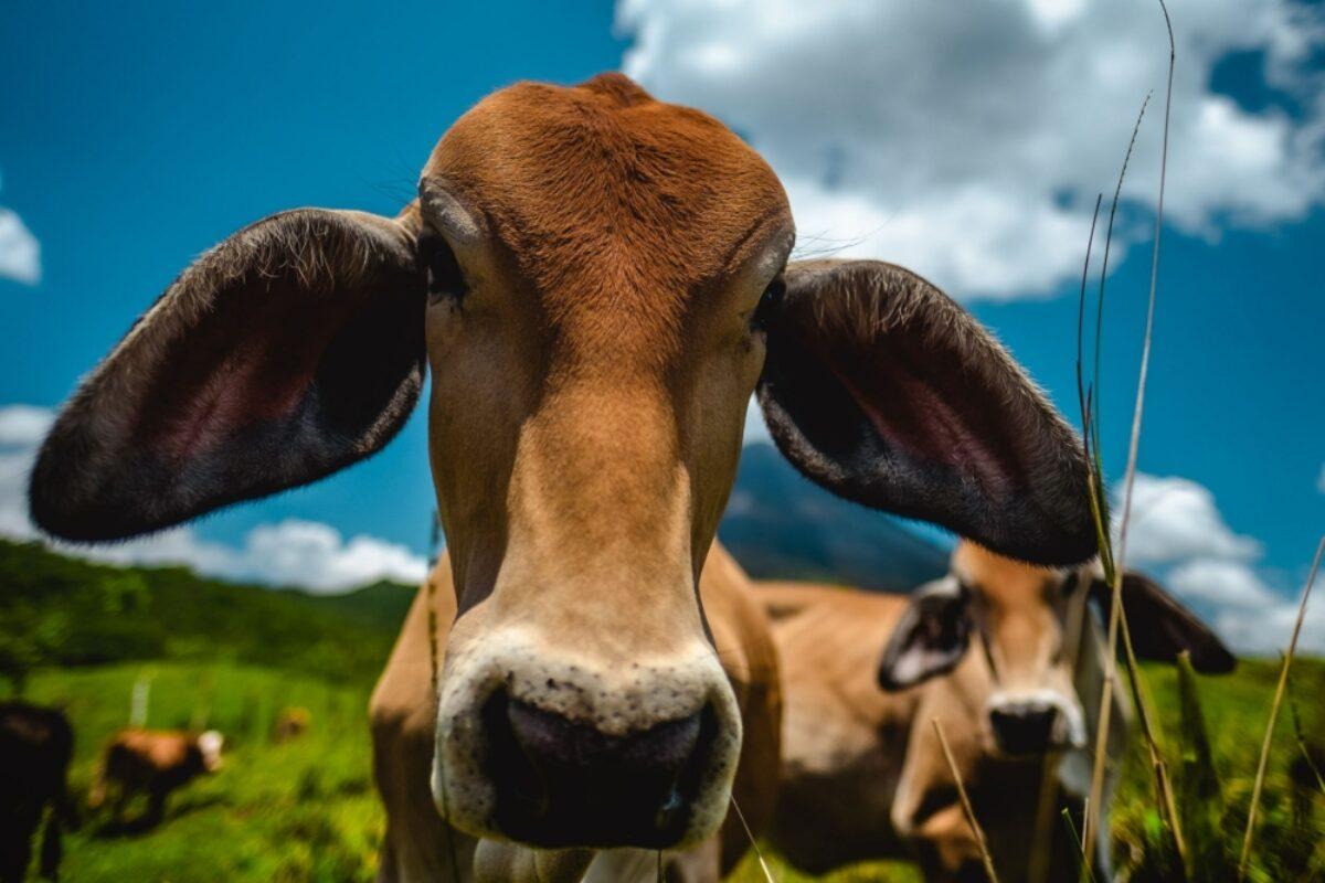 Costa Rica Arenal Volcano cows