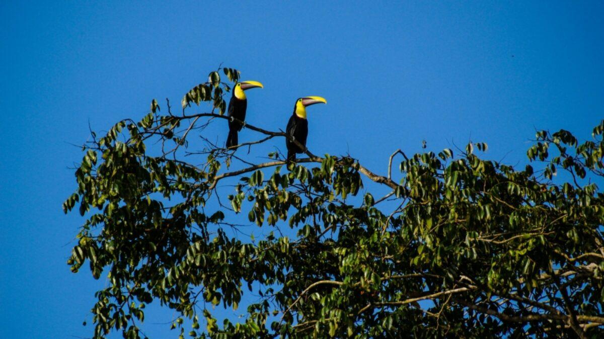 Costa Rica Tortuguero toucans