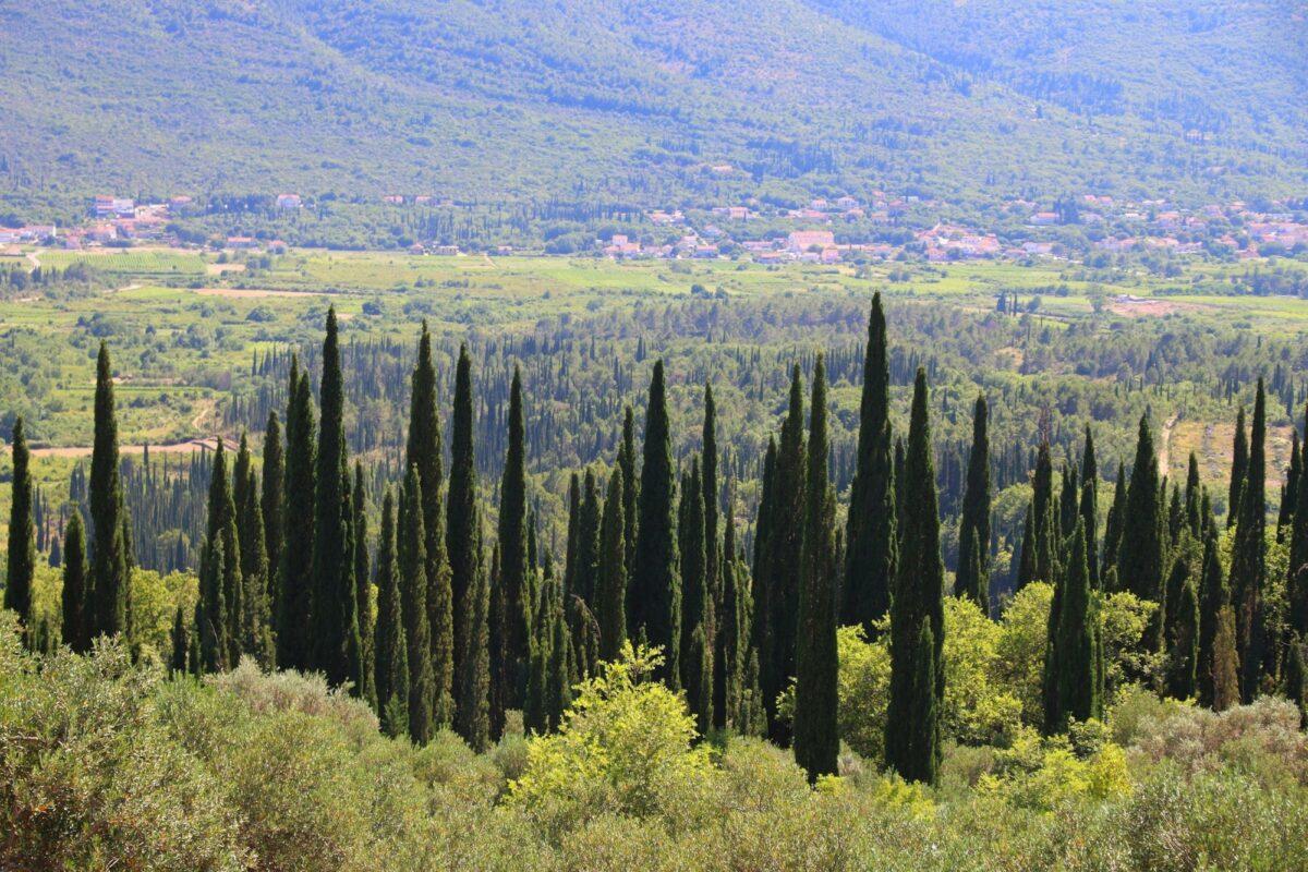 Croatia Konavle cyprus trees