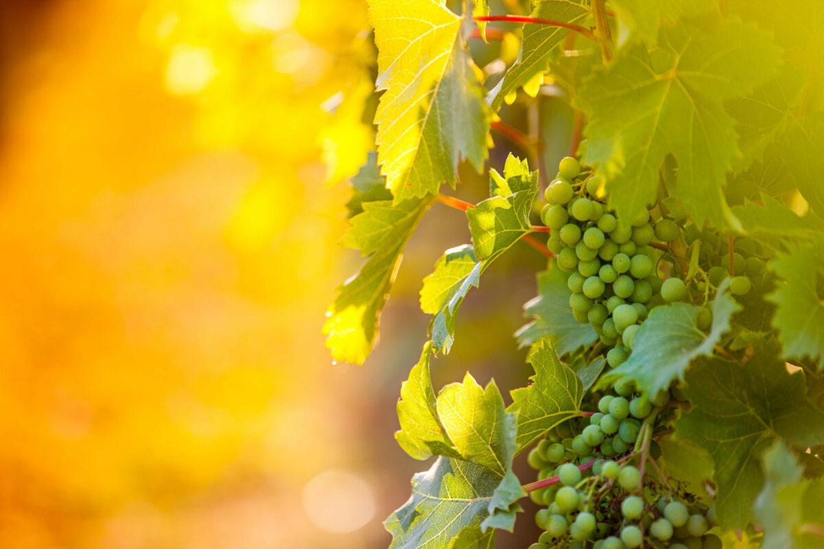 Croatia white pimot grapes