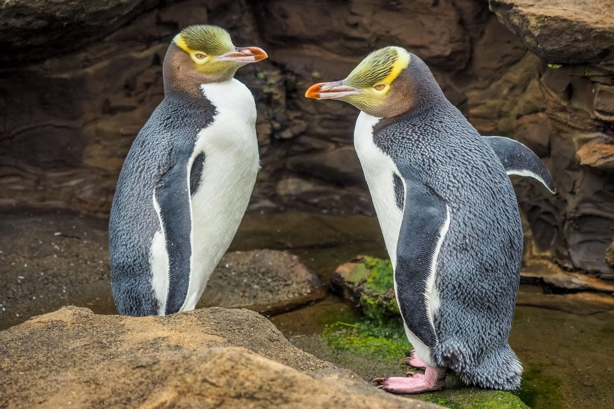 Dunedin yellow eyes penguins