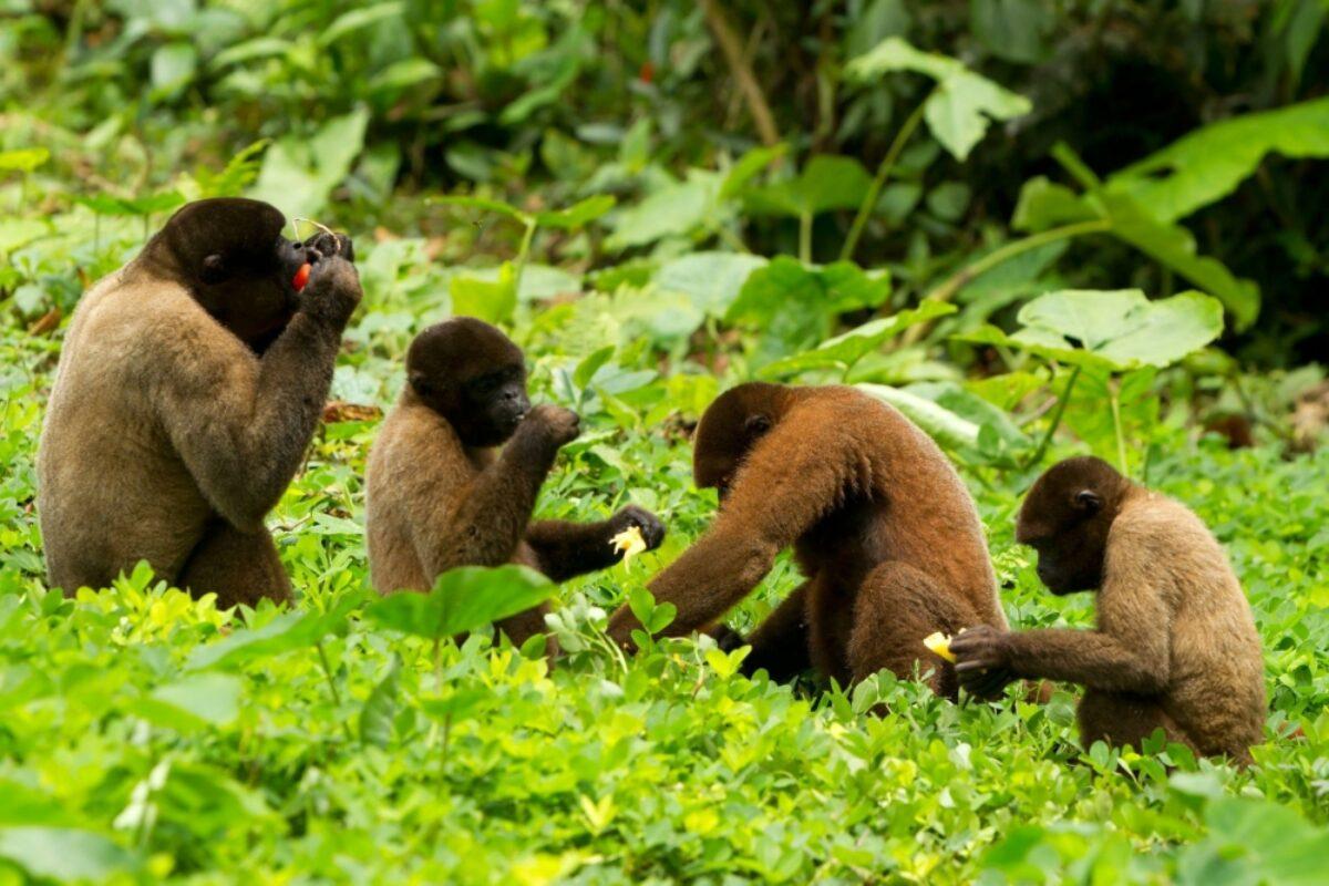 Ecuador Amazon Coca Family of chorongo monkey