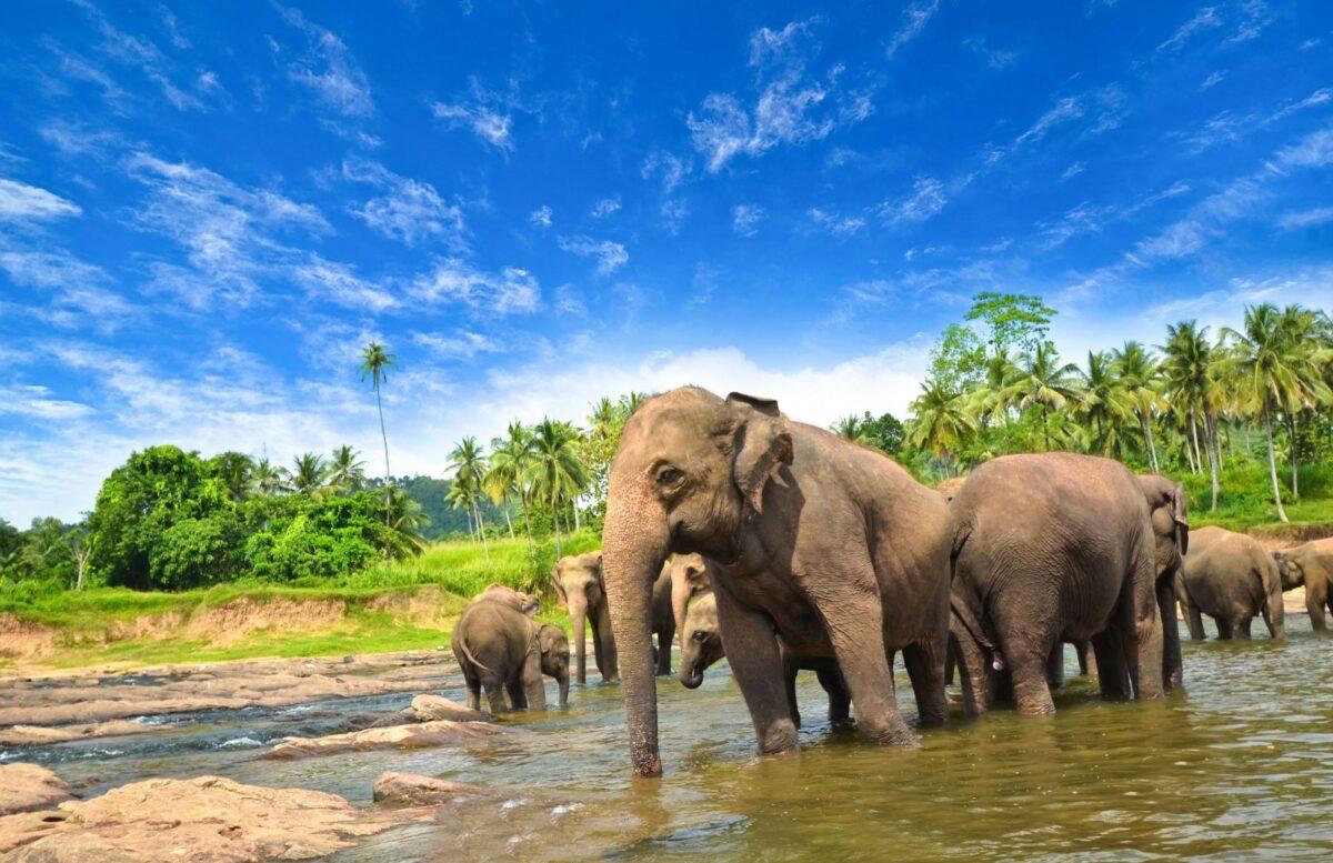 Elephants near Kandy Sri Lanka