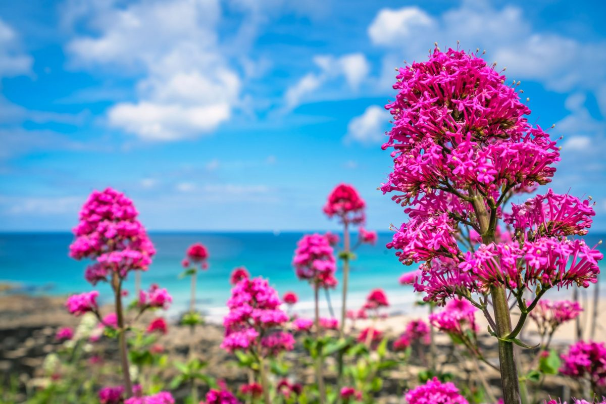 England Cornwall ink flowers growing above St Ives premier golden Porthmeor beach