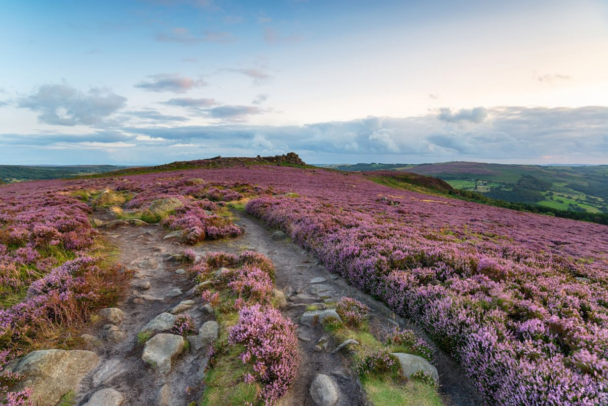 England Peak District Heather at Winyards Nick with Over Owler Tor