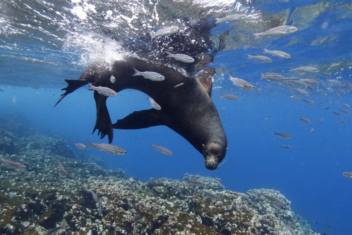 Floreana sealionswimming