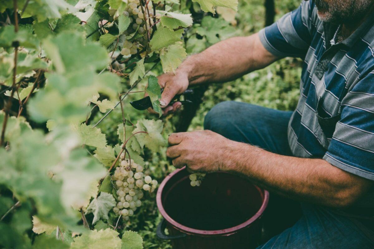 Georgia Kakheti region farmer grape picking