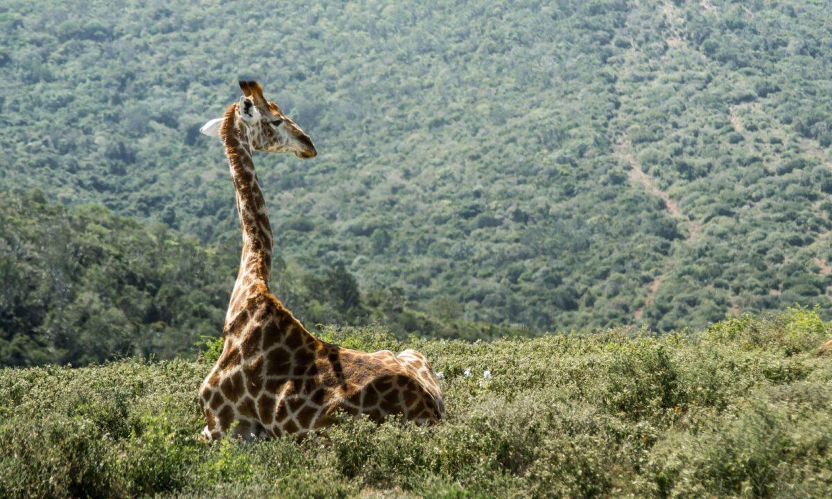 Giraffe Kariega Game Reserve south africa