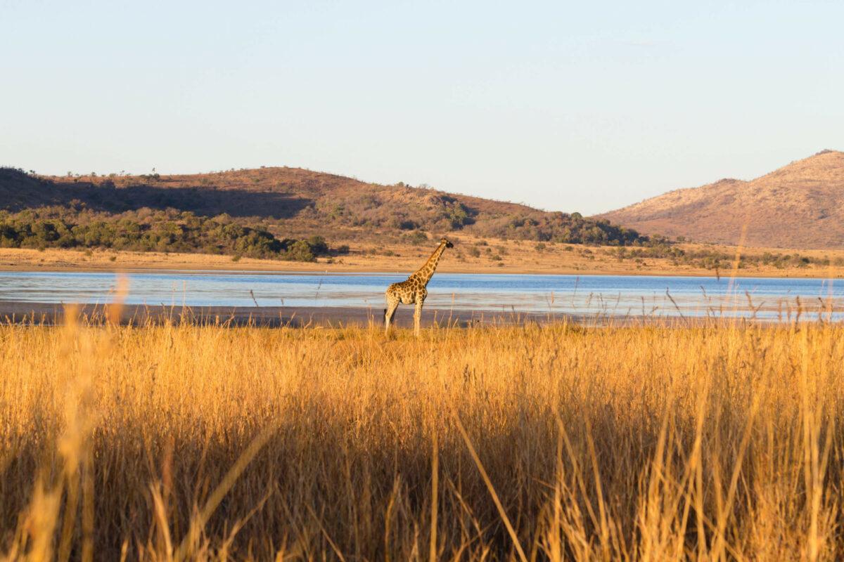 Giraffe close up from Pilanesberg National Park South Africa