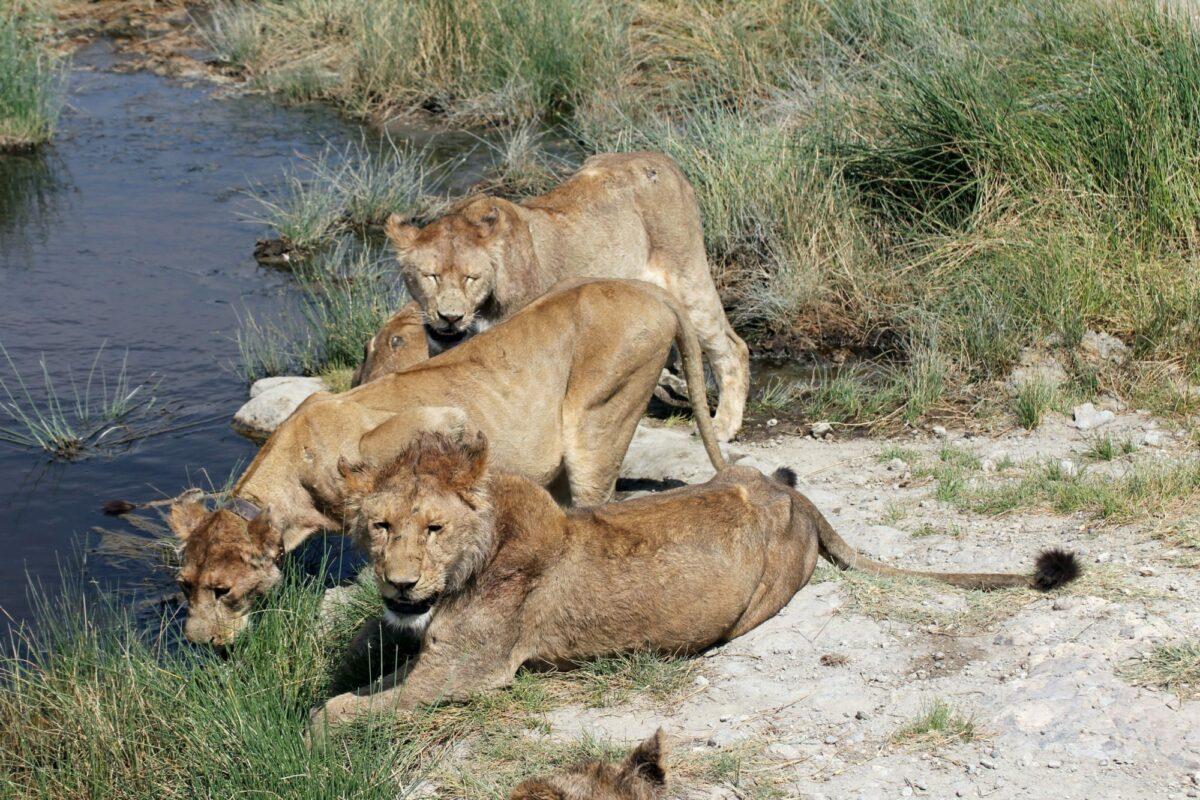 Group of lions drinking at Seronera river