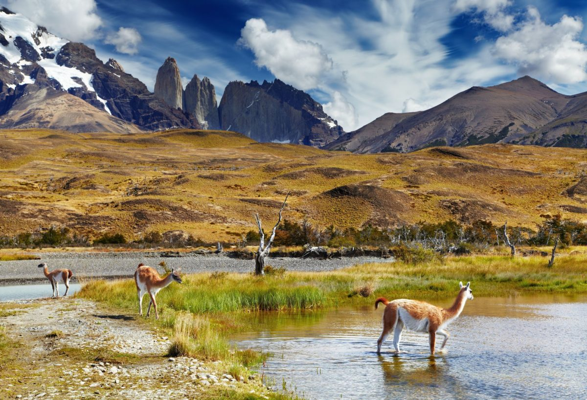 Guanaco-in-Torres-del-Paine-National-Park-Patagonia-Chile