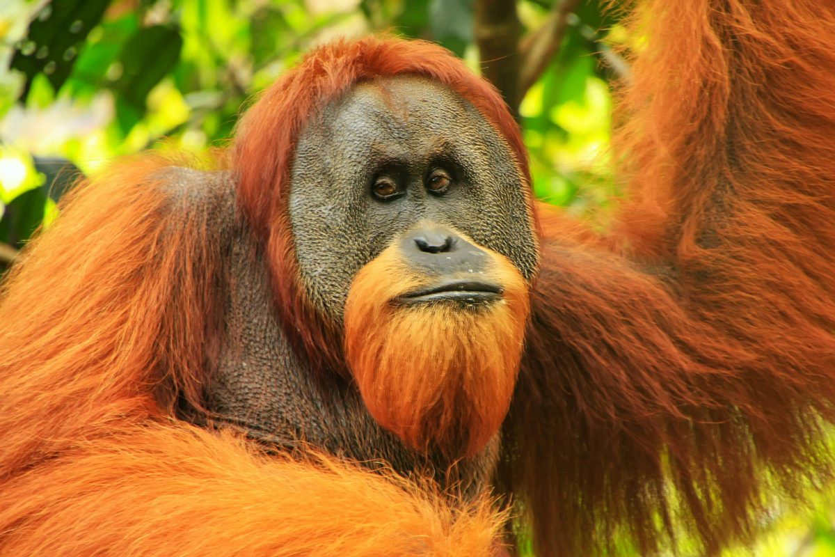 Gunung Leuser National Park Sumatra Indonesia male orangutan