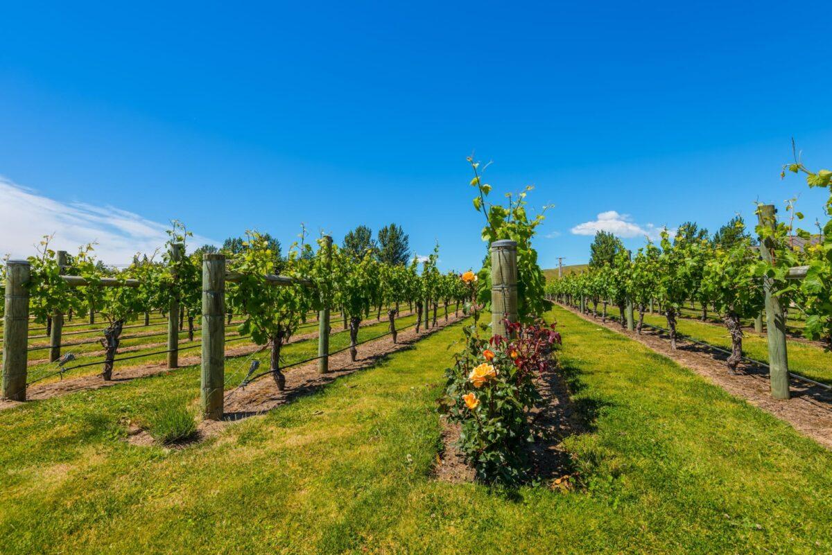 Hawkes Bay vineyard near napier