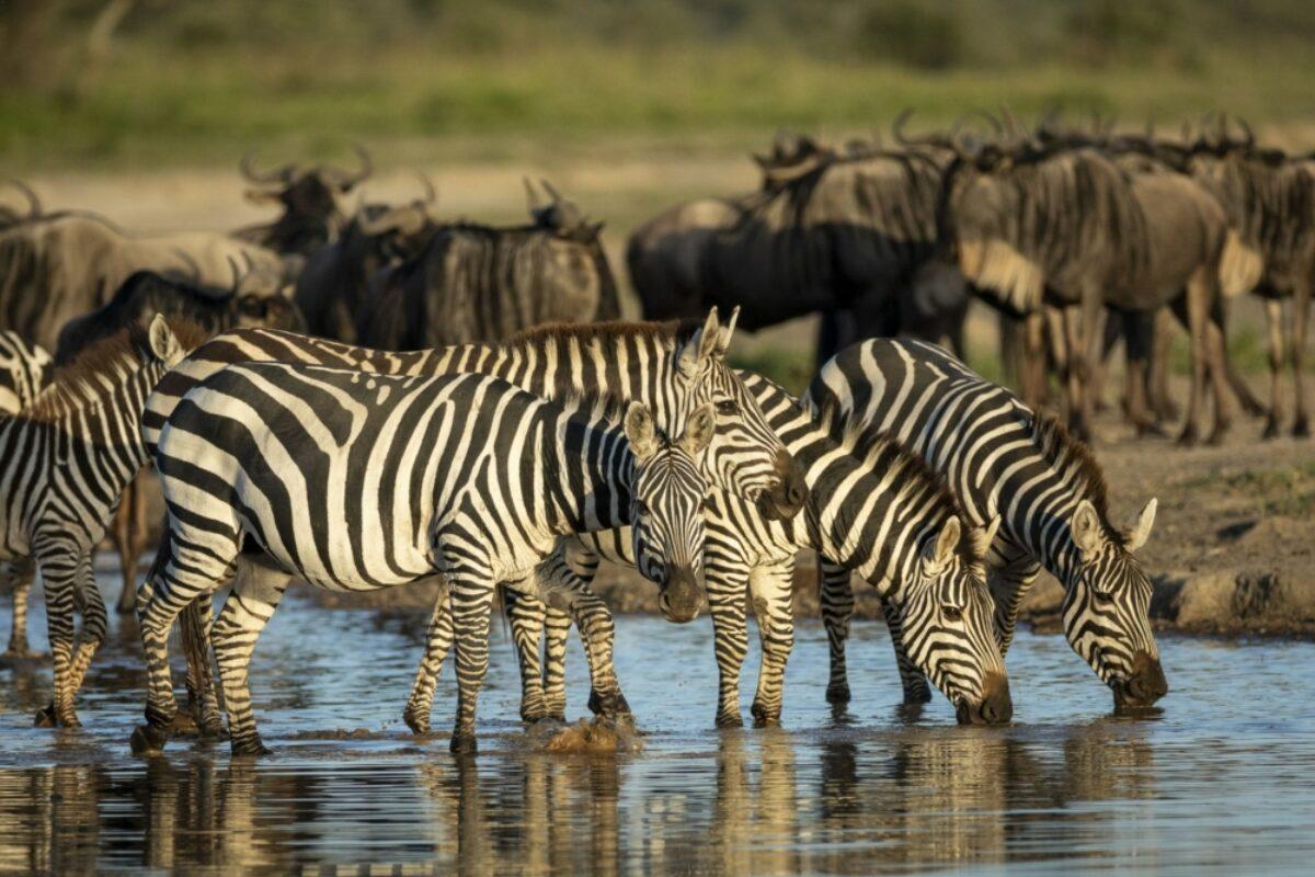 Herd of zebras standing in shallow river drinking water in golden afternoon sunlight in Ndutu Tanzania